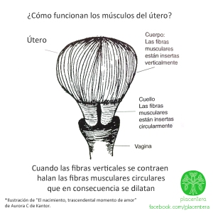 fibras musculares utero